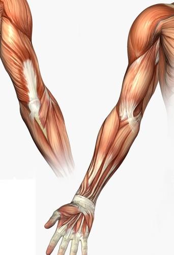 musculature_arm_79846119